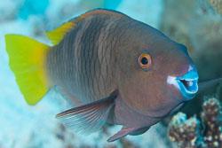 BD-120422-St-Johns-5986-Scarus-ferrugineus.-Forsskål.-1775-[Rusty-parrotfish].jpg